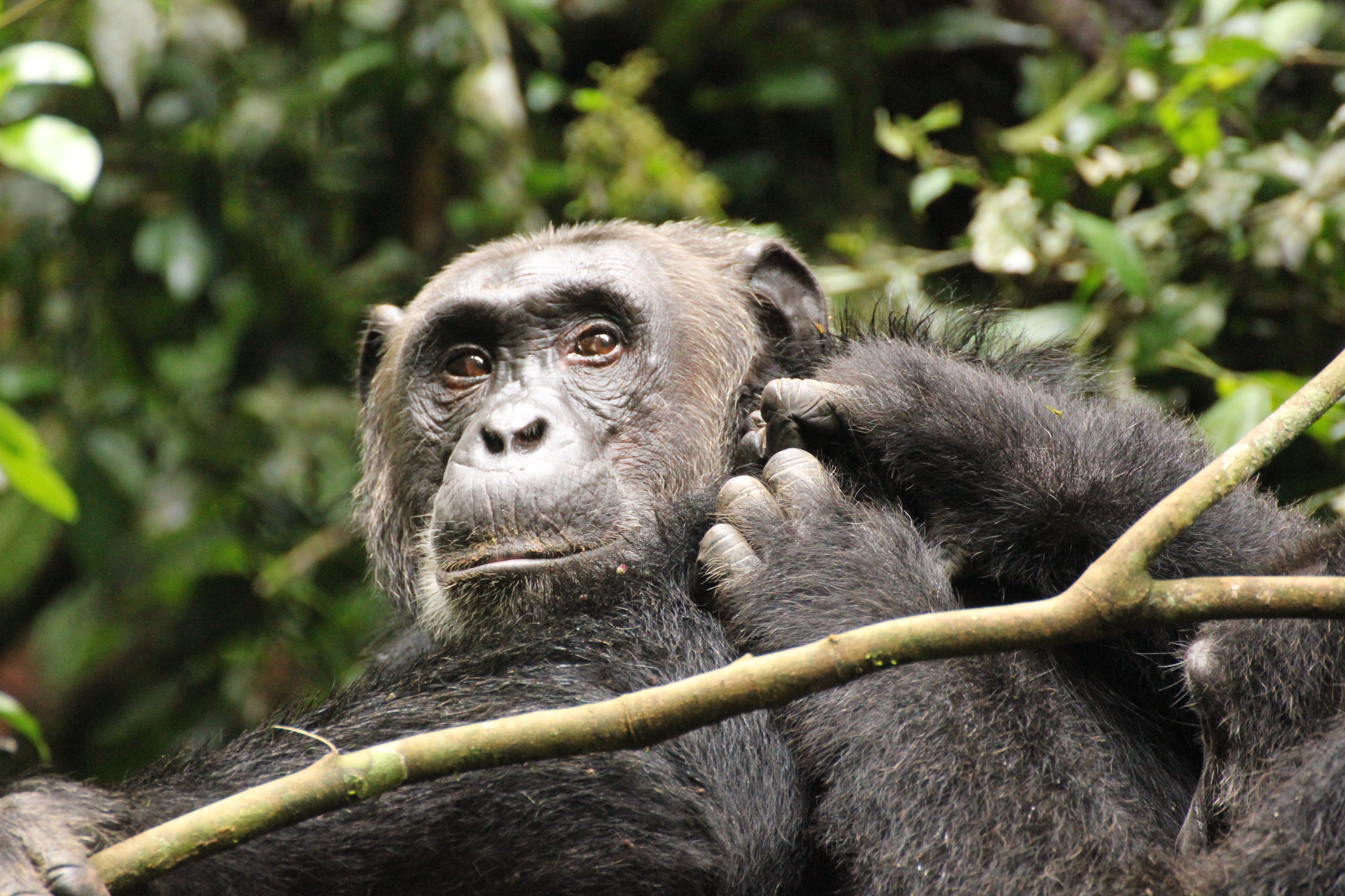 4-days-chimpanzee-tracking