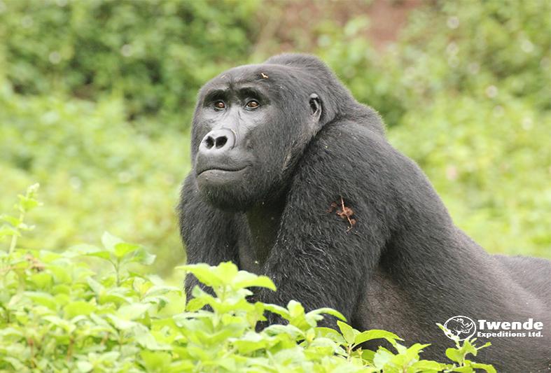 4 Days Gorilla Trekking Uganda