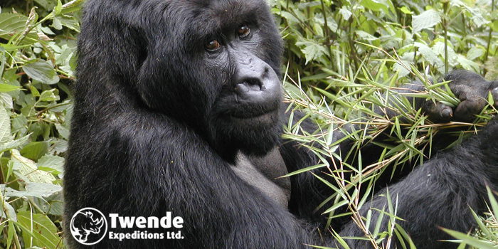 6-days Gorilla, Canopy walk & Volcano hike