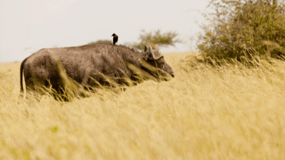 The buffalo in a park.