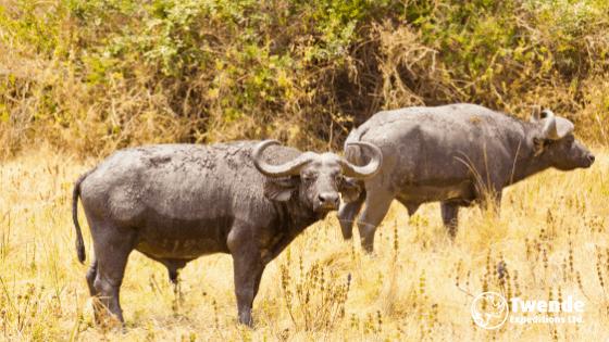 A herd of Bufalos in Queen Elizabeth National Park
