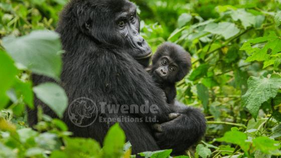 Female gorilla trekking in Uganda or rwanda