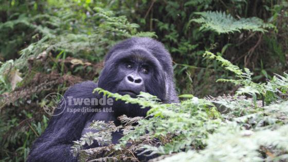 Gorilla tracking and trekking iin Mgahinga National Park