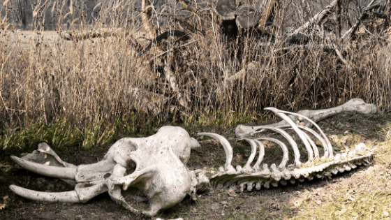 Elephant Bones found by Gipir