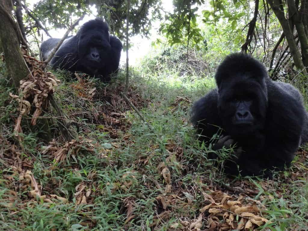 gorilla tracking in uganda, Rwanda and DR-congo