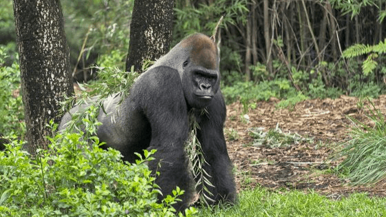how much a male gorilla weighs